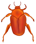 Red-Orange Beetle